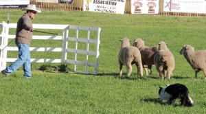 The Meeker Classic Championship Sheepdog Trials got off to an early start on Wednesday, and will continue through the finals on Sunday at Ute Park, located on the west end of Meeker. Above, Dennis Edwards and his border collie, Roy, from Sundance, Wyo., got within feet of corralling the sheep in their first trial. The clock ran out with the sheep just about to enter the corral, but Edwards did garner a score of 43. There are 125 dogs in the trials and the field will be narrowed to the top 20 for Saturday's semifinals and to 10 for Sunday's finals.