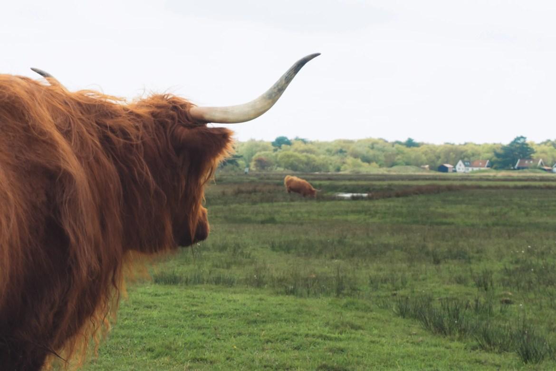 Vakantie naar Texel koe