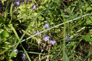 carnivorous plants native flowers washington esmerelda basin trail