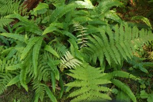 Boardman Lake trail, hiking with children, northwest ferns, washington native plants