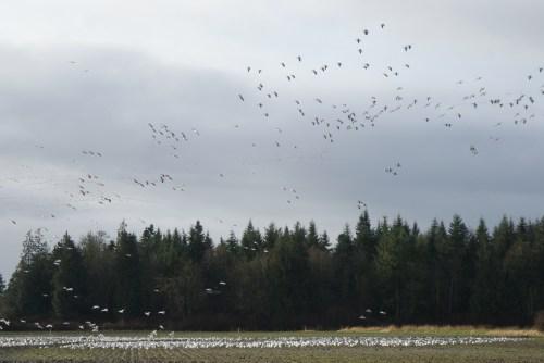 skagit flats, birding with children, raptor studies, winter bird populations