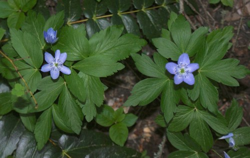washington native wildflowers, blue flowers, lake easton state park