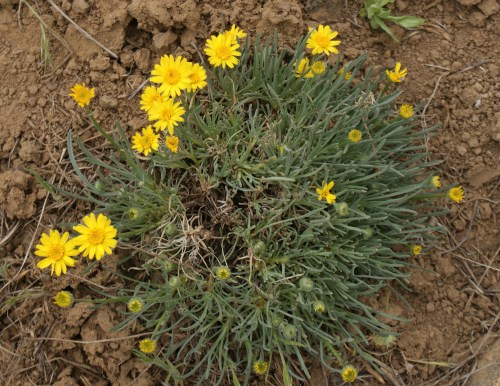 washington wildflowers, desert, native plants, yellow