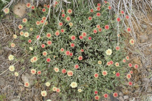desert wildflowers, washington native plants