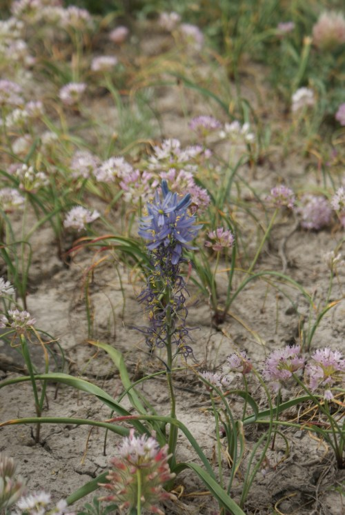 washington native plants, blue wildflowers, desert