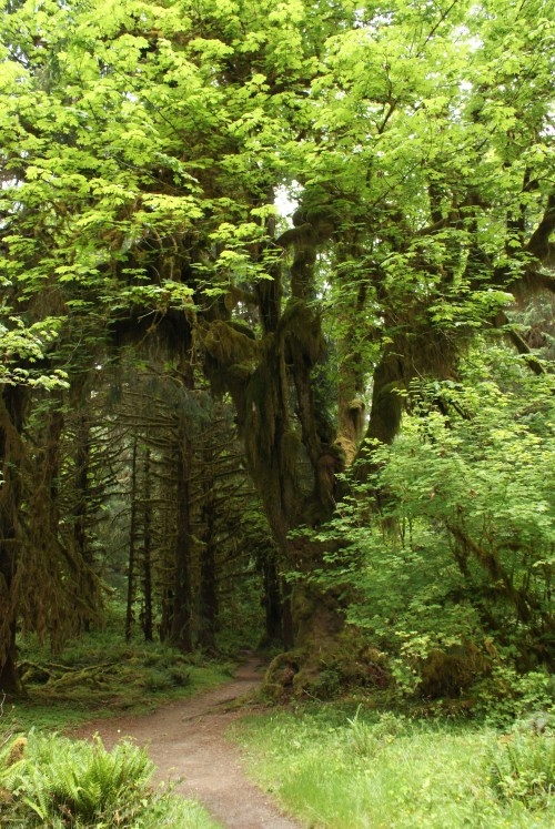 big-leaf maples, hoh valley, rainforest