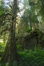 thunder creek trail, hiking with kids, old growth forests washington
