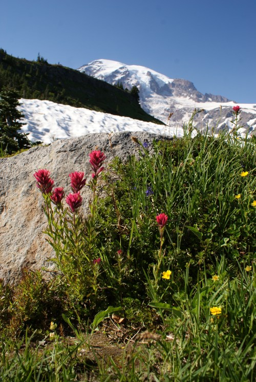 hiking with kids, mt. rainier summer hiking, indian paintbrush