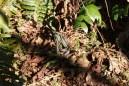 mclane creek trail, washington reptiles