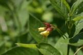 washington wildflowers, mt. Baker flowers, yellow, picture lake trail