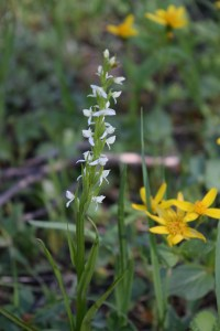 flowers, yellowstone national park, white