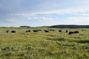 Yellowstone, wildlife, buffalo, hayden valley