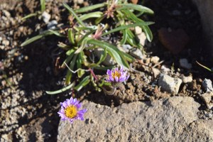 burroughs mountain, mt rainier wildflowers, purple, best hikes for kids