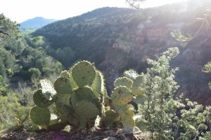 sedona, arizona, cacti, prickly pear, red rocks