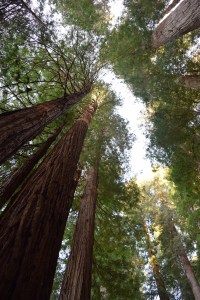 california redwoods, stout grove, tall redwoods, ancient trees, spring break