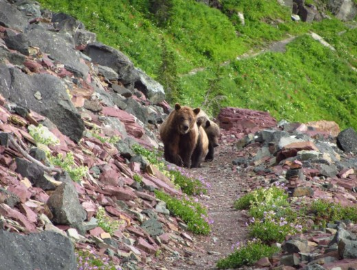 Three Grizzly Bears | Glacier NP, Montana | Continental Divide Trail
