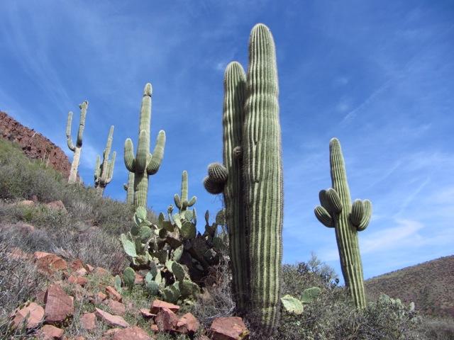 Iconic Saguaro Cactus | AZT