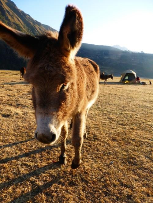 Donkey CBT