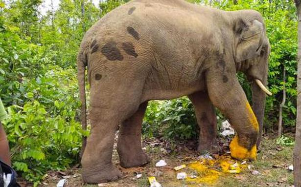 Vets remove parts of iron chain from elephant's foot in Bengal