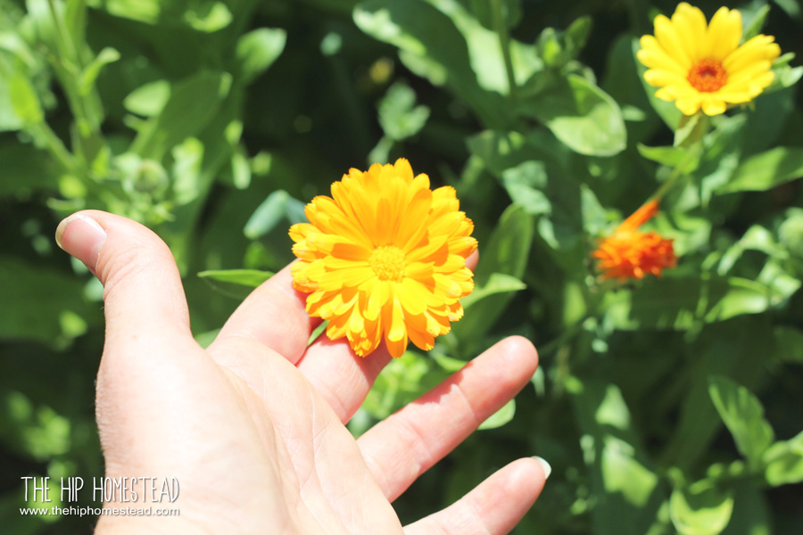 Fresh Flower Herbal Tea The Hip Homestead