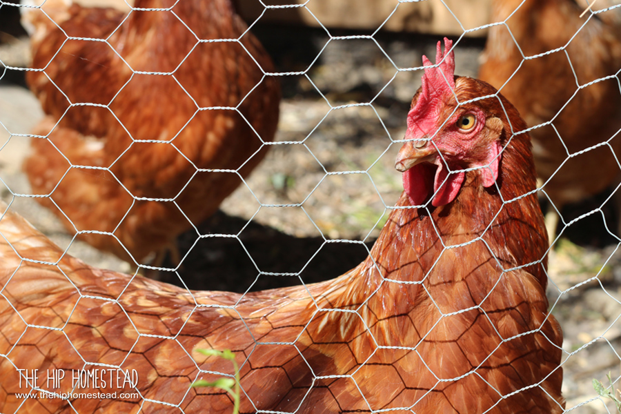 Urban Hens Modern Homesteading - The Hip Homestead