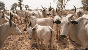 Dealers raise alarm on rising prices of cows