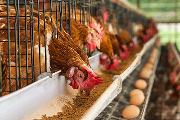 Attendants docked  for stealing  N3m chickens