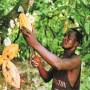 How Ondo lost leading position in cocoa production