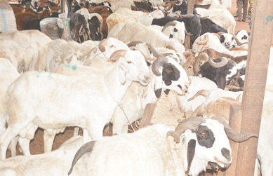 Eld-el-Kabir: Ram sellers lament low patronage