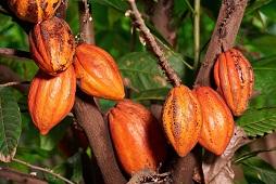 Ondo to establish largest Cocoa Estate in Africa