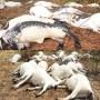 Thunder strikes, kills 36 cows on sacred grove