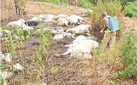 Thunder: Cows didn't die of poison –Report