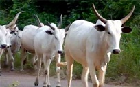 Eight docked for stealing cows
