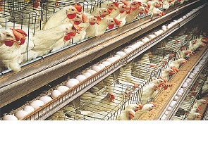 Poultry farmers lose N1b to COVID-19