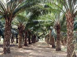 'ODSG 'll improve Araromi Obu/Ayesan Oil Palm'