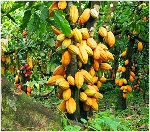 FAO boosts Ondo's cocoa, palm oil productions with $2.5b