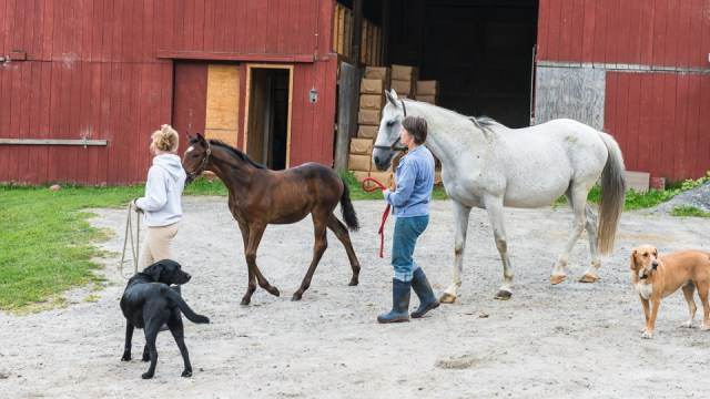 Leading foals