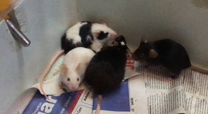 bonding-mice