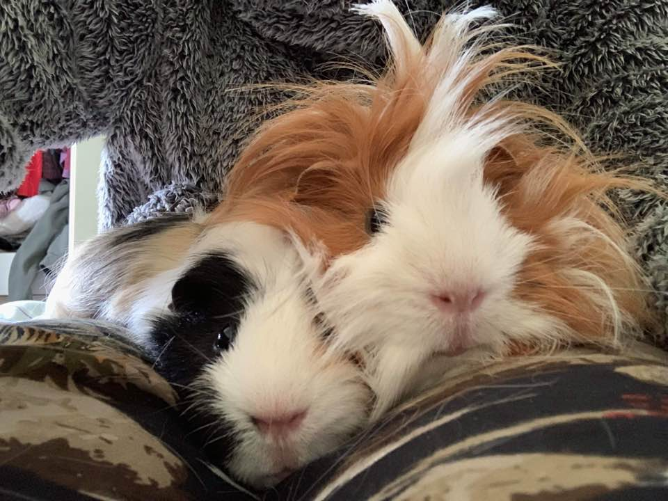 10 Things You Need To Know Before Owning Guinea Pigs
