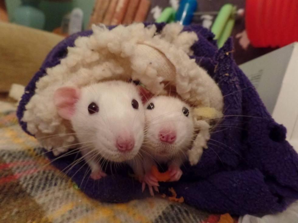 Mythbusters – Rats