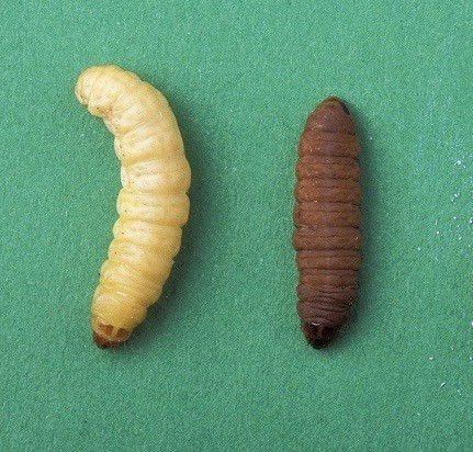 Waxworm Care Sheet