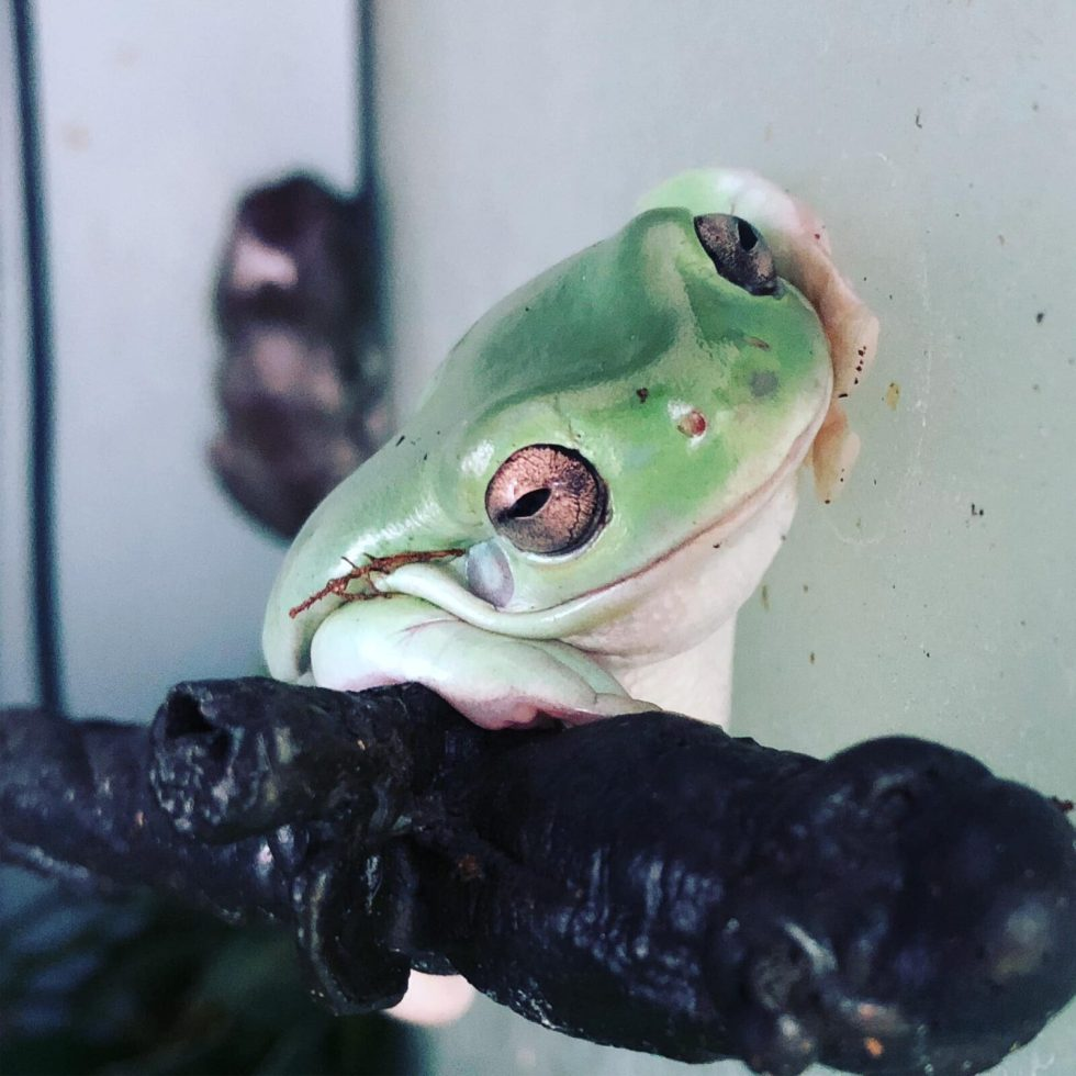 10 Things You Should Know Before Getting White's Tree Frogs