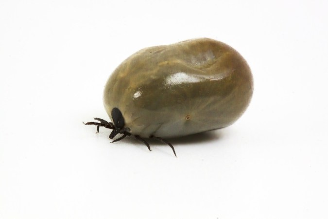 Image shows a tick