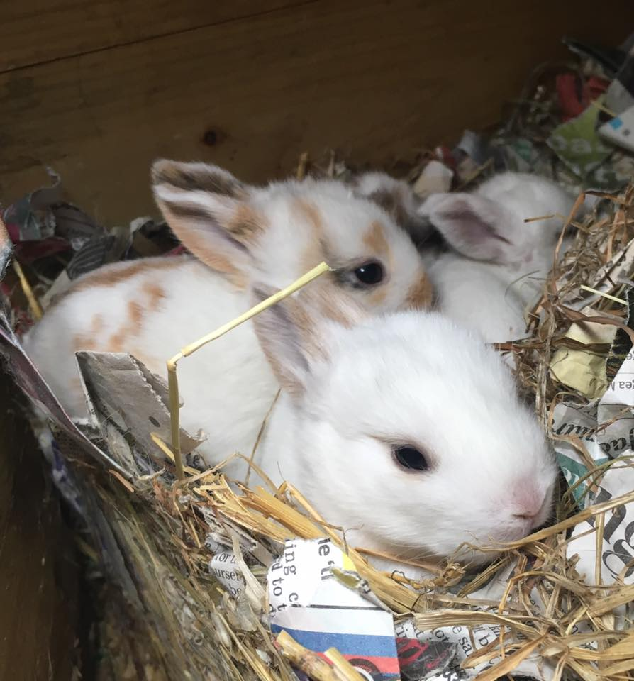 What Should You Do If Your Rabbit Has An Accidental Litter?