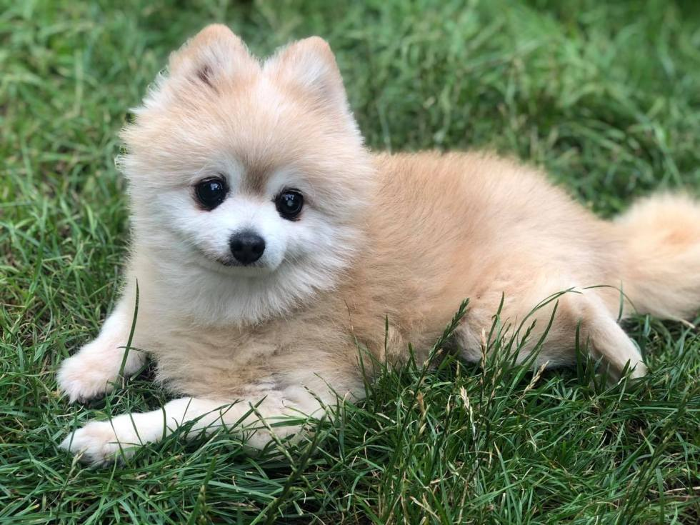 10 Things You Need To Know Before Owning a Pomeranian