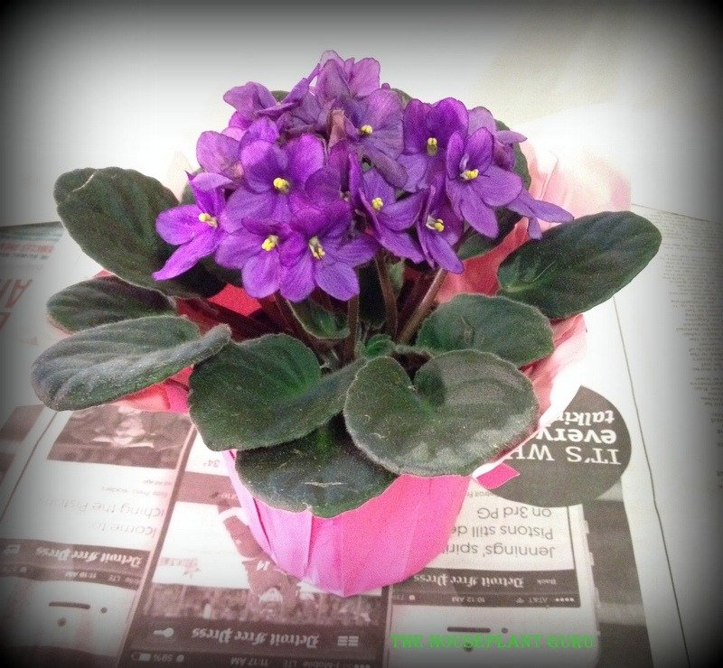 repotting african violet 018
