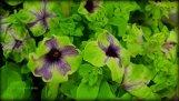 Not a houseplant, but green! Sweetunia Green Tambourine-Wow!!!