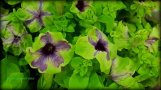 Not a houseplant, but green! Sweetunia Green Tambourine-Wow!!!