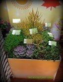 'Red Dragon' Sedum, Echeveria 'Perle von Nurnberg, Crassula princess pine, Euphorbia 'Fire Sticks', Baby Jade Crassula