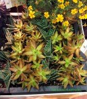 'Coppertone' Sedum, 'Gator' Aloe